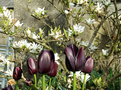 spring tulips and magnolia